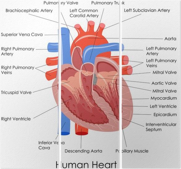 Bonito Marcado Corazón Humano Diagrama Ornamento - Anatomía de Las ...