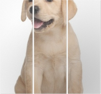 Labrador puppy, 7 weeks old, in front of white background Triptych