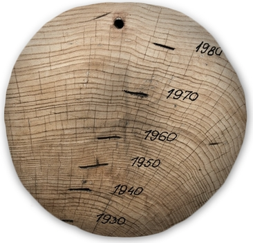 Tree Trunk Cross Section Showing Annual Growth Rings
