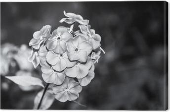 Tuval Baskı Siyah ve beyaz çiçeklenme sonbahar phlox güzel detay. phlox paniculata. bahçede çiçek açması süs bitkisinin melankolik yakın çekim. karanlık üzgün çiçek arka plan, kopya alanı. seçici odak