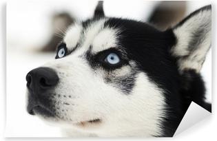 Husky muotokuva Vinyyli valokuvatapetti