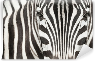 Lähikuva seepra pään ja kehon kaunis raidallinen kuvio Vinyyli valokuvatapetti