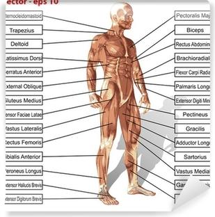 Vektori ihmisen miehen anatomia lihakset tekstiä Vinyyli valokuvatapetti