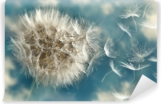 Voikukka menettää siemeniä tuulessa Vinyyli valokuvatapetti