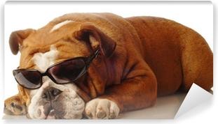 Lerretsbilde Bulldog iført blå festhue på hvit bakgrunn .. • Pixers ... e7b80cb0359de