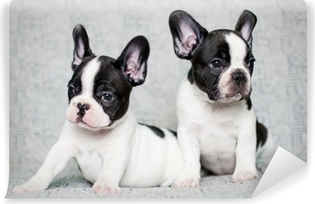 Vaskbar fototapet To franske bulldog valper