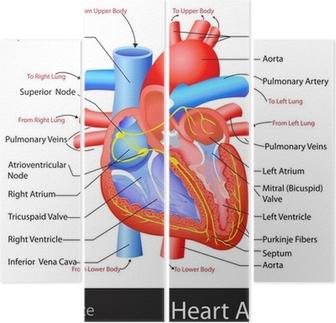 Super Fotobehang Anatomie van het Hart • Pixers® - We leven om te veranderen LK-48