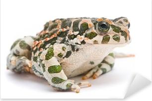 Vinilo Pixerstick Bufo viridis. Sapo verde sobre fondo blanco.