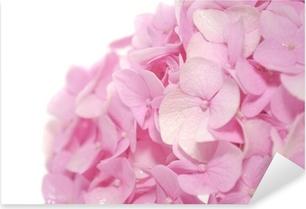Vinilo Pixerstick Hermosas flores de hortensia rosa sobre fondo blanco