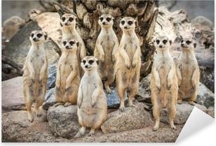 Vinilo Pixerstick Retrato de suricata