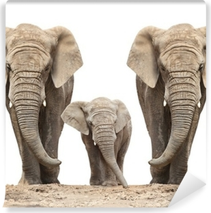 African elephant (Loxodonta africana) family on a white. Vinyl Wall Mural
