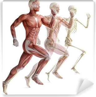 anatomy, muscles Vinyl Wall Mural