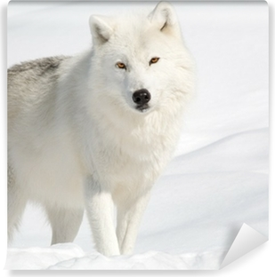 Arctic Wolf in the Snow Looking at the Camera Vinyl Wall Mural
