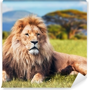 Big lion lying on savannah grass. Kenya, Africa Vinyl Wall Mural