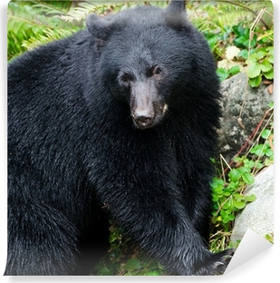Black Bear Portrait,Vancouver Island, Canada Vinyl Wall Mural