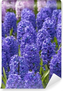 blue and pink hyacinths in the garden Vinyl Wall Mural