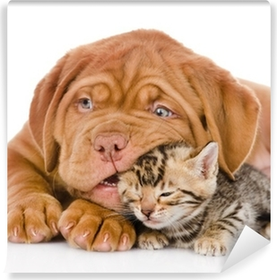 Bordeaux puppy dog playing with bengal kitten. isolated Vinyl Wall Mural