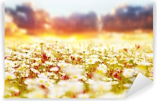 Daisy field over sunset Vinyl Wall Mural
