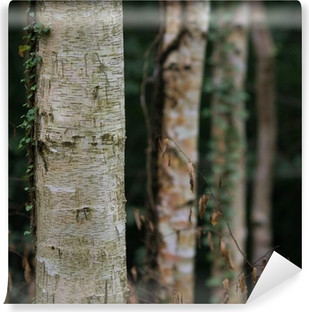 dark birch tree forest Vinyl Wall Mural