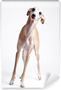 dog Italian greyhound Vinyl Wall Mural