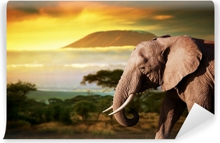 Elephant on savanna. Mount Kilimanjaro at sunset. Safari Vinyl Wall Mural