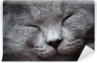 Face close-up of a young cute cat sleeping blissfully. The British Shorthair Vinyl Wall Mural