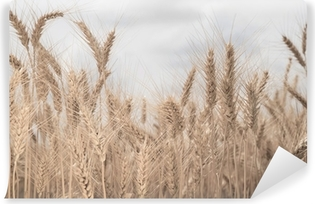 Field of wheat toned in sepia Vinyl Wall Mural