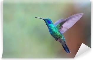 Green violetear hummingbird in flight in Costa Rica Vinyl Wall Mural