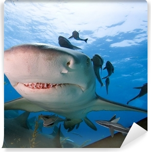 tiger shark swimming underwater Wall Mural Pixers We live to change