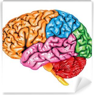 Human brain lateral view Vinyl Wall Mural