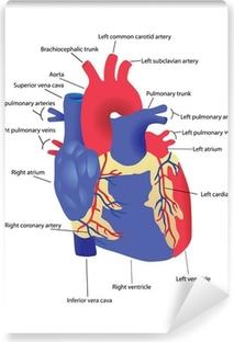 Vector illustration of diagram of human heart anatomy wall mural human heart vector vinyl wall mural ccuart Image collections
