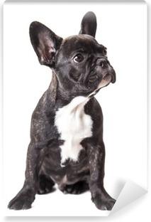 little french bulldog puppy Vinyl Wall Mural