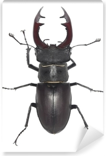 Male stag beetle, Lucanus cervus isolated on white background Vinyl Wall Mural