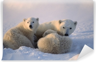 Polar bears,female cub is nursing . Canadian Arctic Vinyl Wall Mural