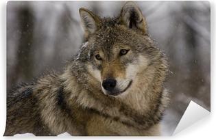 Portrait of an European grey wolf (Canis lupus lupus) Vinyl Wall Mural
