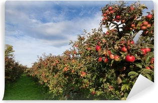 Ripe apples on trees in orchard Vinyl Wall Mural