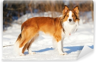 Sable Red Border Collie Standing On The Snow In Winter Wall Mural Pixers We Live To Change