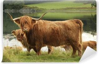 Scottish highland cow in field Vinyl Wall Mural