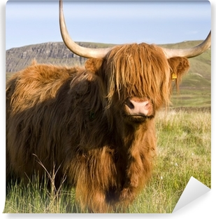 Scottish highland cow Vinyl Wall Mural