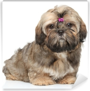 Sunflower Country Shih Tzu