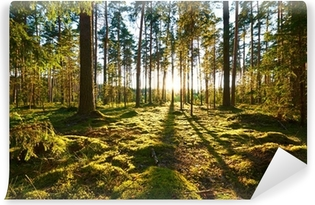 Sunrise in the pine forest Vinyl Wall Mural