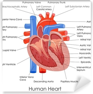 Vector illustration of diagram of human heart anatomy poster vector illustration of diagram of human heart anatomy vinyl wall mural ccuart Image collections