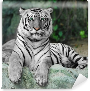 WHITE TIGER on a rock in zoo Vinyl Wall Mural