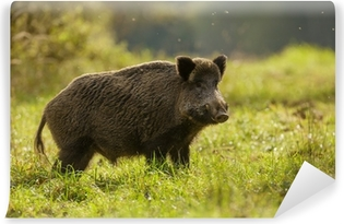 Wild boar, backlit, foraging for apples Vinyl Wall Mural