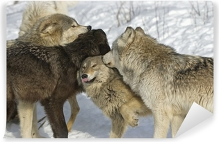 Wolf pack dominance fight. Northern Minnesota Vinyl Wall Mural
