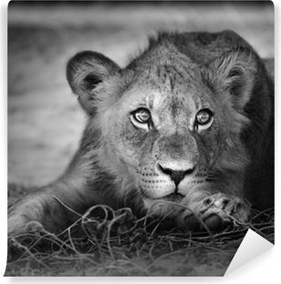 Young lion portrait Vinyl Wall Mural
