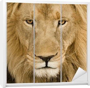 Close-up on a Lion's head (4 and a half years) - Panthera leo Wardrobe Sticker