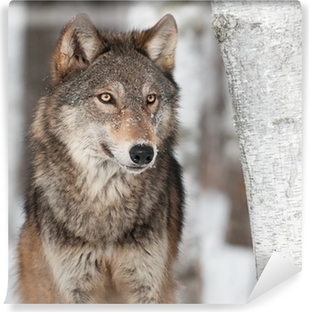 Grey Wolf (Canis lupus) By Birch Tree Washable Wall Mural