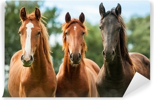 Group of three young horses on the pasture Washable Wall Mural