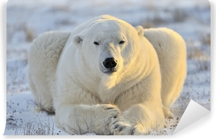 Polar bear lying at tundra. Washable Wall Mural